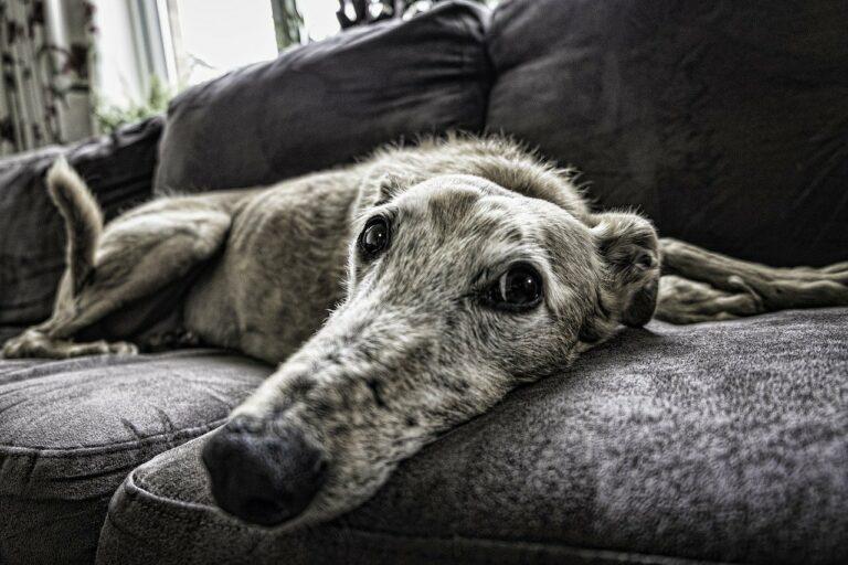 dog, sofa, rest